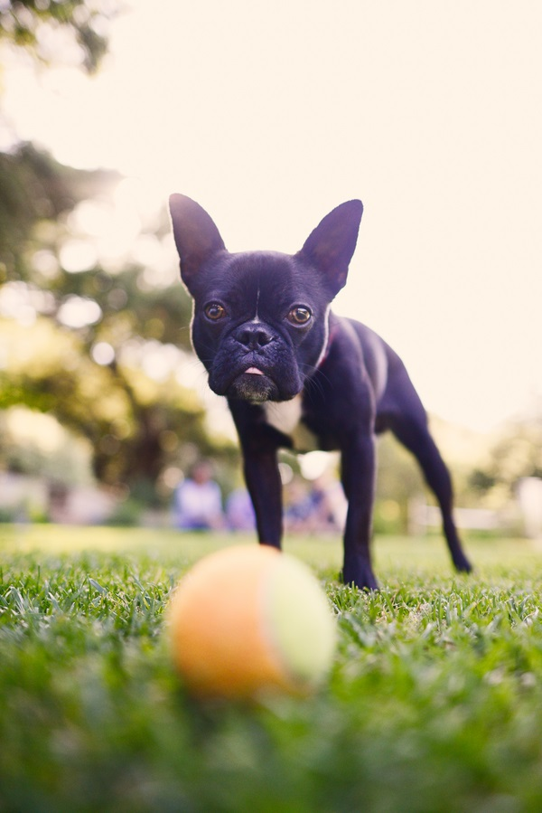 © Annie Tao Photography | lifestyle photographer, family dog pictures, Boston Terrier with ball