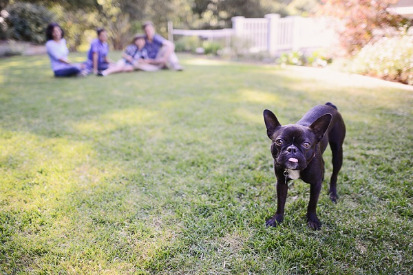© Annie Tao Photography | lifestyle dog photography, Boston Terrier with family in background, low depth of field
