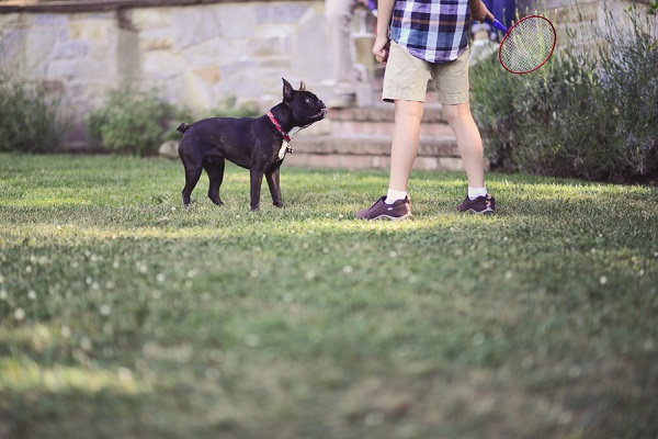 © Annie Tao Photography   portraits of Boston Terrier and his active family