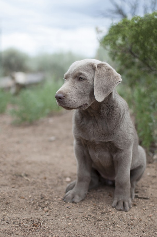 © Caitlin Elizabeth Photography | Daily Dog Tag |cute Labrador puppy,  on-location-dog-photography, Santa Fe photography