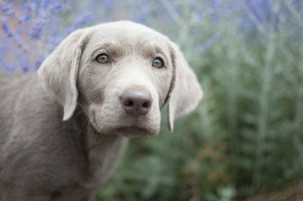 © Caitlin Elizabeth Photography | Silver Labrador Retriever Puppy Portraits, Santa Fe, New Mexico lifestyle photography