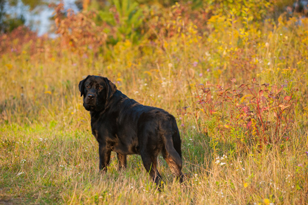 © Alice G Patterson Photography |English-Black-Labrador-Retriever-in-autumn, Central New York Pet Photographer