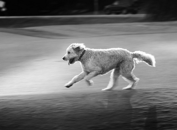 © Eye Wander Photo | black white portrait of dog running
