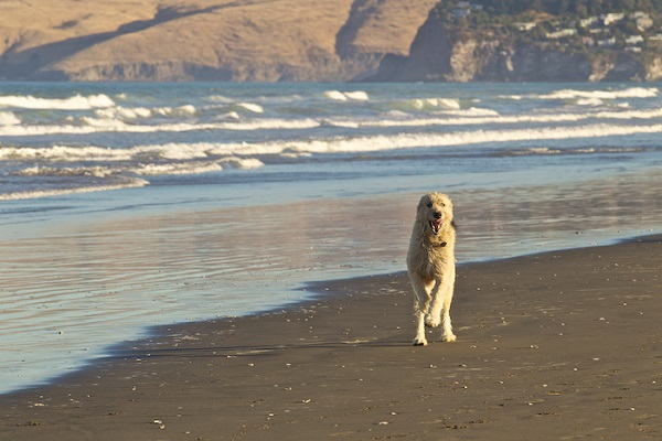 © Furtography | Irish Wolfhound running on beach, New Zealand dog photography