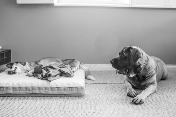 © RDP PhoDOGraphy | Terminally ill Shepherd mix and Bullmastiff friend