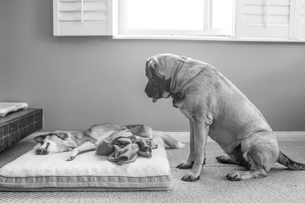 © RDP PhoDOGraphy | Senior dog in foster and Mastiff sibling