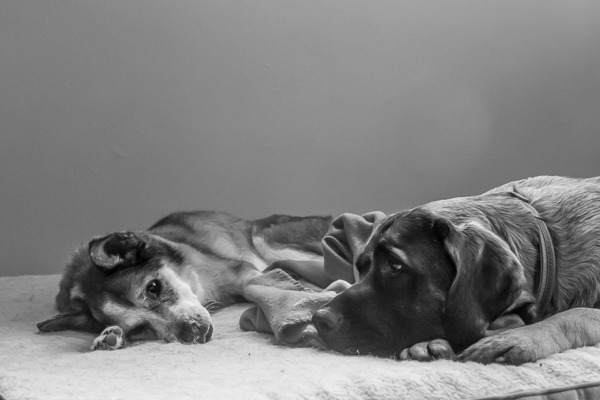 © RDP PhoDOGraphy | sweet senior foster dog and Bullmastiff friend
