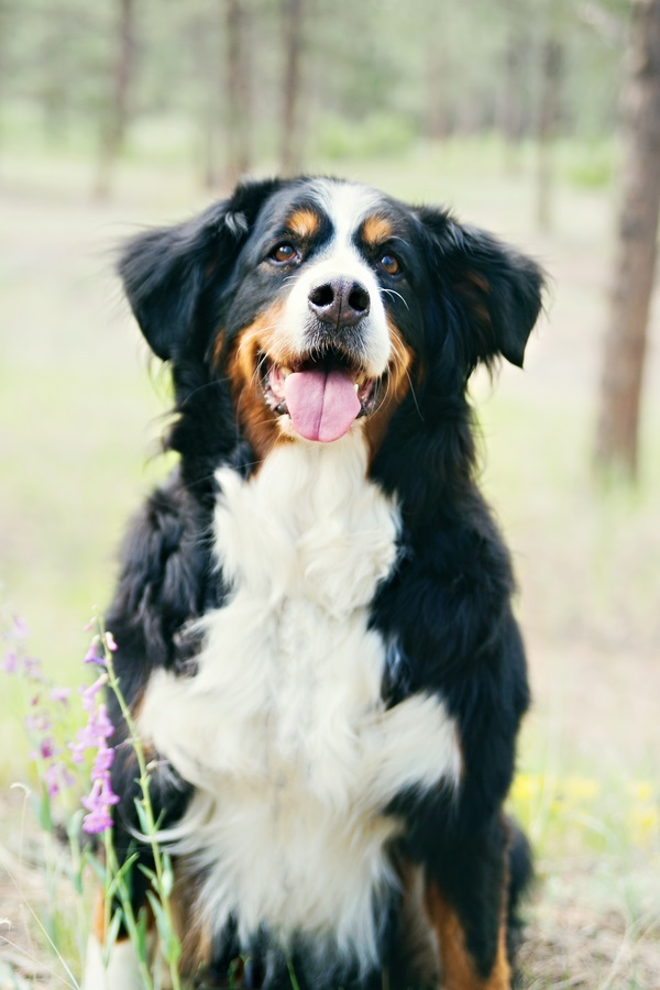 © Jessica Newman Photography | lifestyle pet photography, certified therapy dog, Bernese Mountain dog