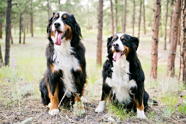 © Jessica Newman Photography | gorgeous Bernese Mountain dogs
