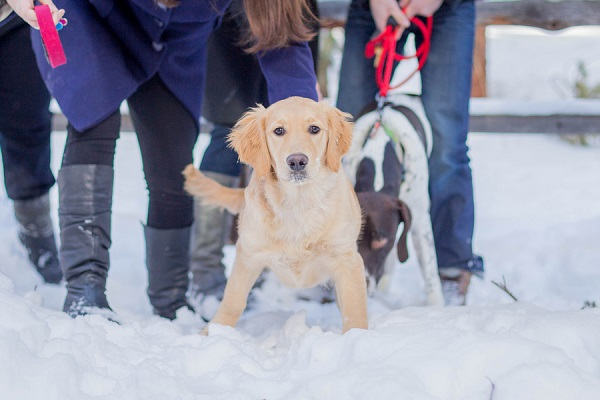 © Meigan Canfield Photography | Golden Retriever puppy in snow