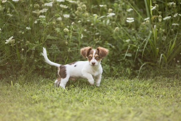 © Paw Prints- Pet Portraits by Charlene  | Dachshund Chihuahua mix, adorable puppy, on-location photography