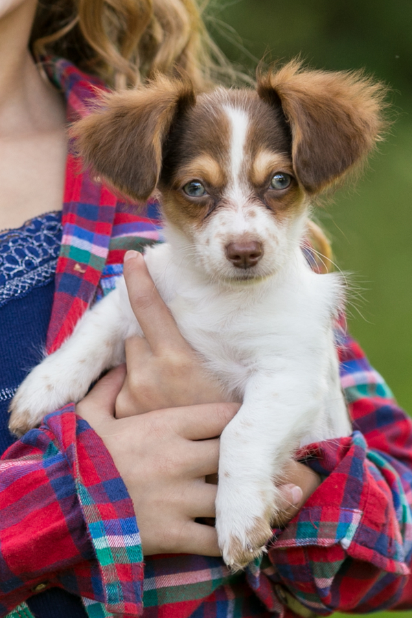 © Paw Prints- Pet Portraits by Charlene | white brown Chihuahua -Doxie mix