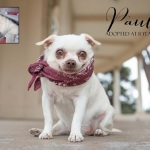 senior Chihuahua adopted at 8 years