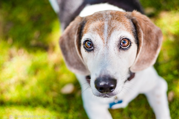 © Westway Studio- Lionels Legacy-Bonkers-Adoptable senior Beagle