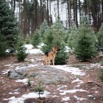 German Shepherd in pine trees, Christmas tree shopping with GSD