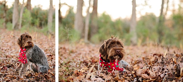 © Ashah Photography| Wire haired pointer Griffon puppy. on location pet photography, dog in leaves