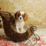 King Charles Cavalier puppy Christmas photo