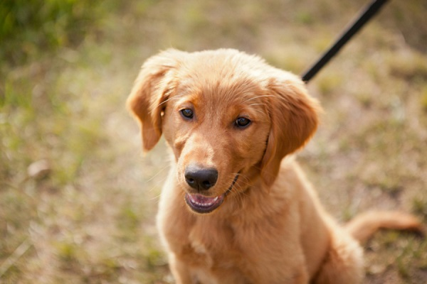 © Creationsphoto | Lifestyle puppy photography, 4 month old Golden Retriever puppy