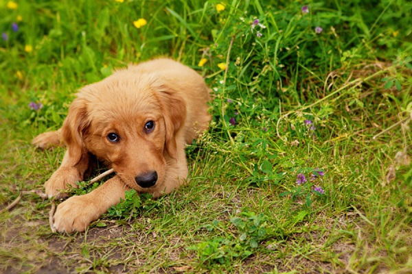 © Creationsphoto | Golden Retriever chewing stick