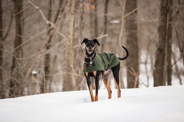 © Custom Portraits by Charlene | Handsome Dobie mix wearing green coat in snow