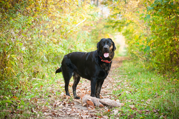 © Alice G Patterson Photography | Black Labrador Retriever and stuffed toy, autumn dog portraits