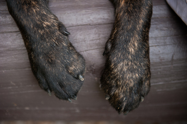 © Alice G Patterson Photography |unique coloring of English Labrador Retriever, dog paws