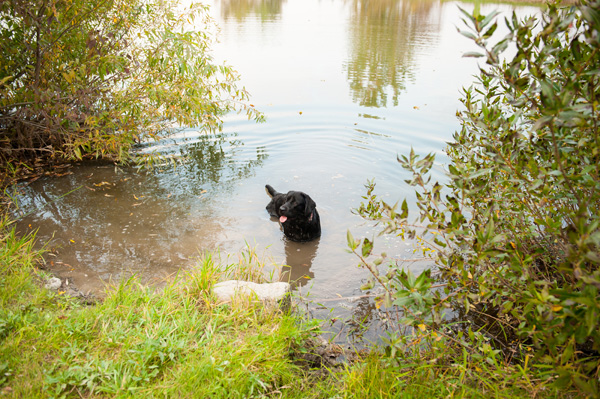 © Alice G Patterson Photography | Black Lab in pond
