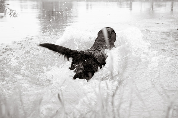 © Alice G Patterson Photography | gorgeous image of Black Labrador Retriever fetching in water