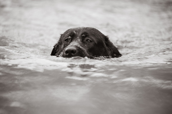 © Alice G Patterson Photography |Eden swimming Black Lab