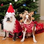 Boston Terriers Dressed for Christmas Season
