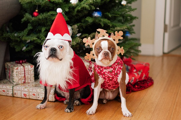 © Genevieve Elaine Photography |  Boston Terriers are dressed for the season