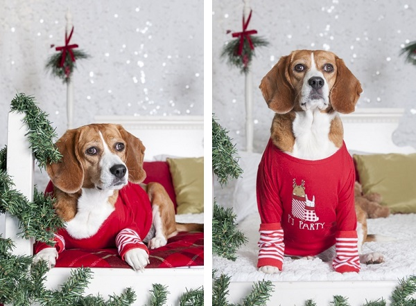 © J Catherine Photography   beagle Christmas photos,