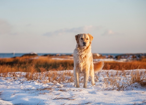 © Kathryn Schauer Photography | stunning Winter Pet Portraits, Yellow Lab/Retriever mix, gorgeous pet photography