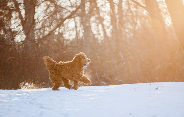 Kathryn Schauer | Labradoodle loving winter, photos of dogs in snow