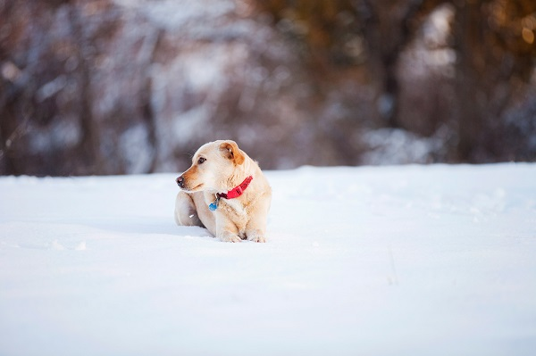 © Kathryn Schauer Photography | Winter dog portraits, dog laying in snow, professional pet photography