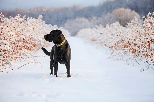 © Kathryn Schauer Photography | Gorgeous winter dog photography, handsome black lab in snow