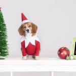 dog dressed as elf on shelf. Beagle in elf on shelf