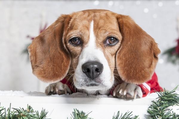 © J Catherine Photography   Holly Jolly Christmas dog