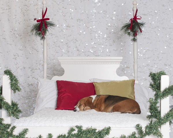 © J Catherine Photography | Beagle sleeping in bed, dog Christmas photos, studio pet photography