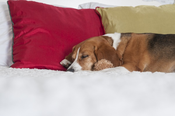 beagle Christmas photos