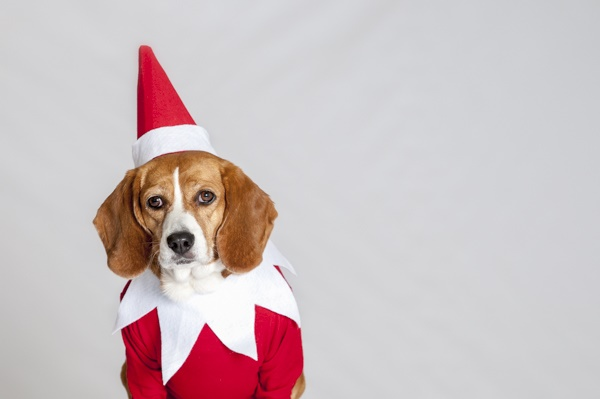 © J Catherine Photography   elf-on-shelf-dog, fun Christmas portrait of dog, dog elf on the shelf, canine elf on the shelf