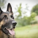 Handsome-German-Shepherd, lifestyle-pet-photography