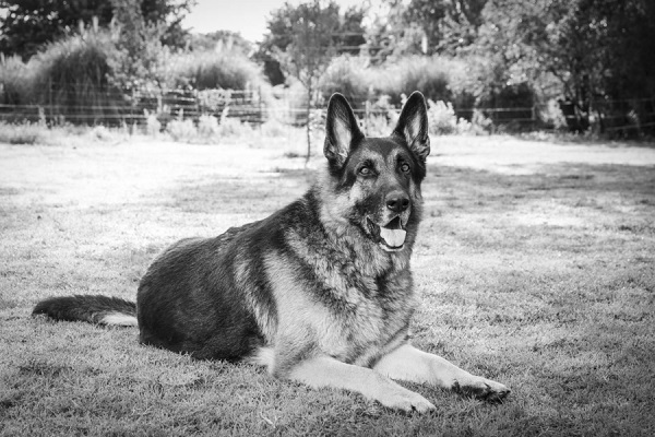© Tangled Lilac Photography | black white portrait German Shepherd