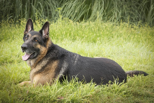 © Tangled Lilac Photography | handsome German Shepherd, on location pet photography