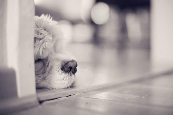 © Toast Photos | sleeping Cocker Spaniel, on location dog photography