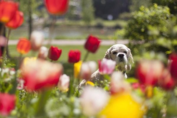 © Toast Photos| Cocker Spaniel, European lifestyle pet photography,  tulips
