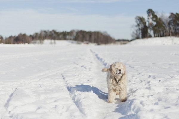© Toast Photos | Cocker Spaniel winter snow