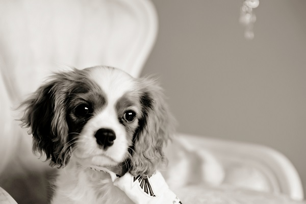 © Andie Freeman Photography | King Charles Cavalier Spaniel puppy, black white lifestyle pet portraits