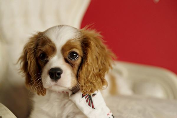 © Andie Freeman Photography | Blenheim King Charles Cavalier Spaniel puppy photos