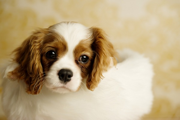 © Andie Freeman Photography |Cavalier King Charles Spaniel puppy photos, puppy in stocking